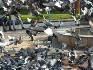 Güvercinlerin Dansı