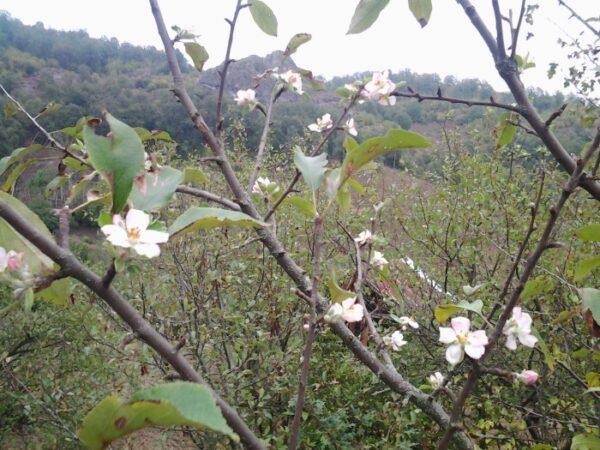 Akkuş'ta Eylül Ayında Erikler Çiçek Açtı. Hayırdır İnşallah